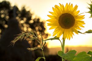 how to get children interested in gardening grow a sunflower
