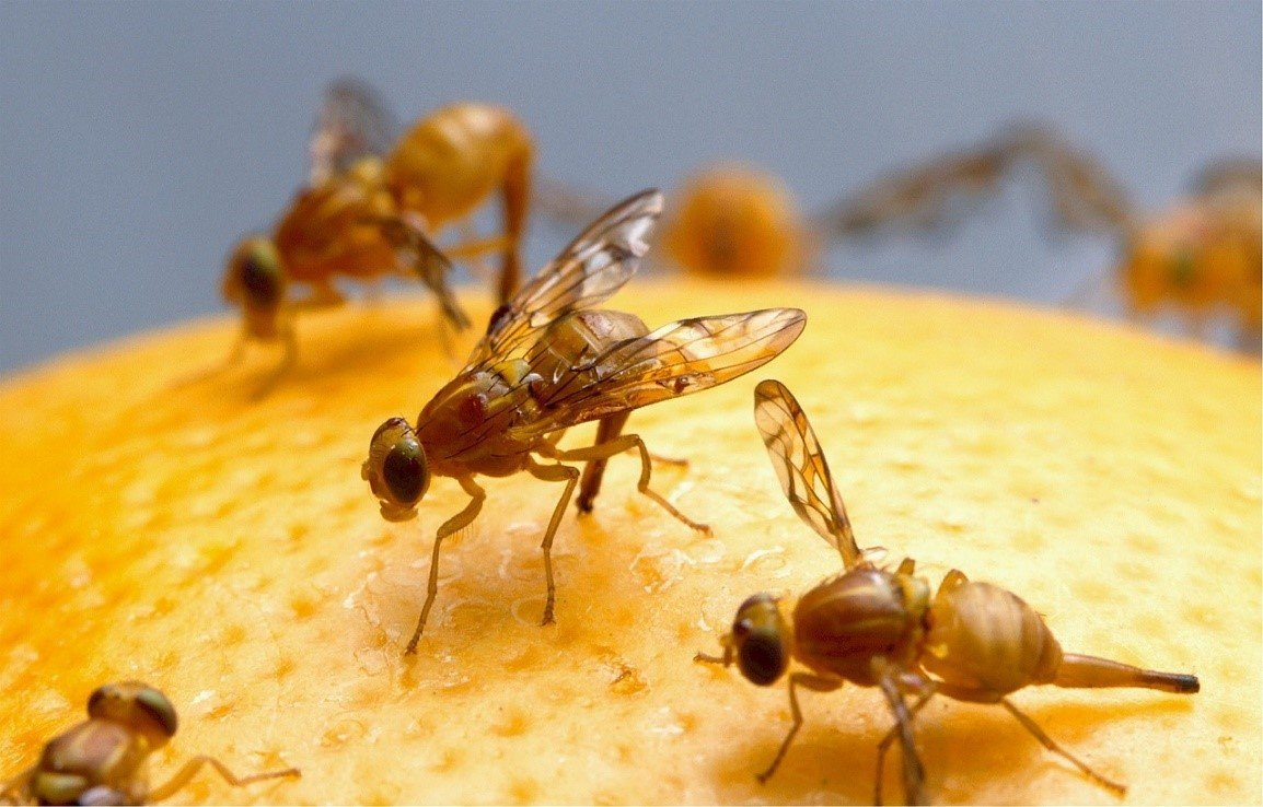 How to pest proof your home from fruit flies